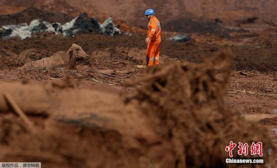 当地时间1月27日,巴西米纳斯吉拉斯州矿坝决堤事故责任公司淡水河谷公司表示,在决堤事故中仍有超过250人下落不明。近日,巴西米纳斯吉拉斯州,淡水河谷公司一处铁矿废料矿坑的堤坝发生决堤事故,引发泥石流。据米纳斯吉拉斯州消防部门称,至当地时间26日下午,共找到40具遇难者遗体,还有23名伤者住院治疗。由于存在发生新的决堤事故的风险,目前搜救工作已经暂时停止。图为消防人员在泥浆中解救一头裹满泥浆的牛。