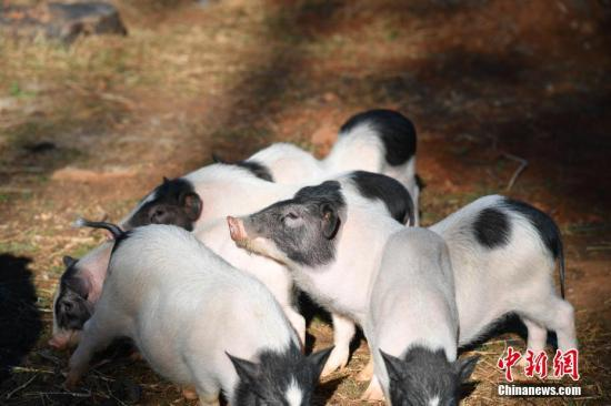 China-developed vaccine against African swine fever effective, to enter expanding trials