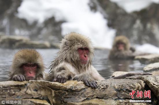 资料图:猕猴。 图片来源:视觉中国