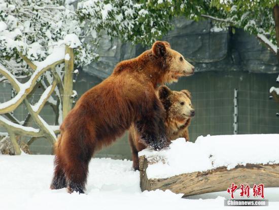 图为棕熊?#36335;?#23545;雪地非常感兴趣,一大早就在雪地里踩出了熊掌印。唐娟 摄
