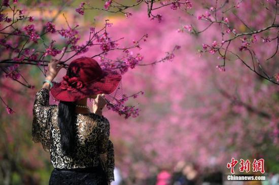 资料图:南宁市民观赏樱花。 中新社记者 蒋雪林 摄