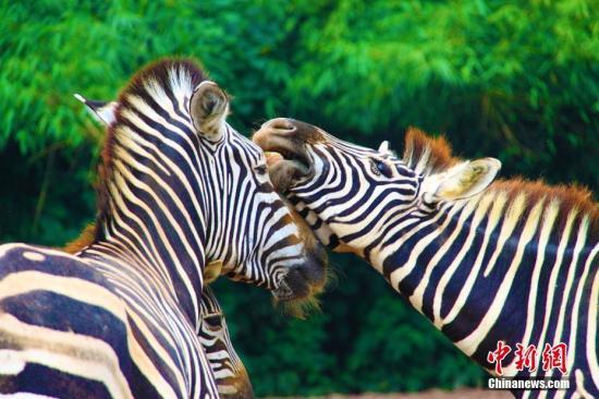 """2月14日情人节,重庆乐和乐都野生动物园的动物们早已""""春意萌动"""",开始""""大胆追求爱情""""。图为斑马""""情侣照""""。王成杰 摄"""