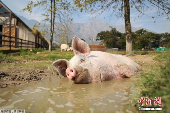 """当地时间2月21日,南非开普敦郊外的弗朗斯切克农场保护区,工作人员解救了一只猪。获救后的小猪在农场里过着充满诗情画意的生活,在水坑里""""泡澡""""或是在画布上作画。"""