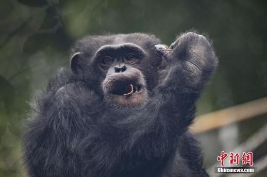 资料图:黑猩猩。