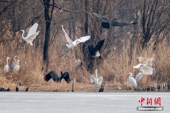 资料图:世界濒危鸟类黑鹳落脚山西汾河湿地公园。韦亮 摄