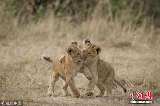 2019年2月26日讯(具体拍摄时间不详),肯尼亚,一位野外摄影师在当地自然保护区里捕捉到一对狮子幼崽相互拥抱的温情时刻。图片来源:视觉中国