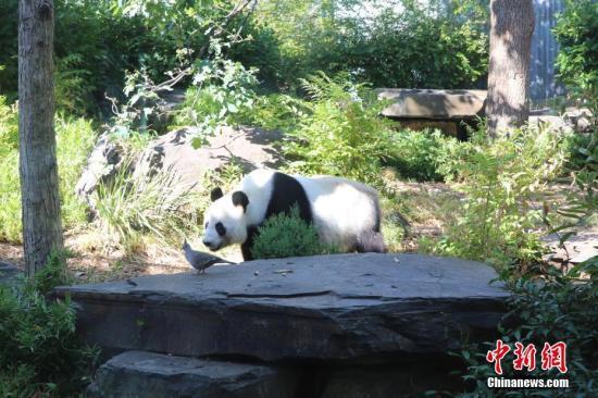 """资料图:2月27日,澳大利亚阿德莱德动物园里一对来自中国的大熊猫""""网网""""和""""福妮""""迎来各地游客。这对大熊猫已在澳大利亚居住了9年,到2019年11月,10年的租借期即将届满。它们是至今生活在南半球的第一对大熊猫。因为大熊猫太受欢迎,阿德莱德动物园希望延长租约。图为大熊猫""""网网""""。<a target='_blank' href='http://www.chinanews.com/'>中新社</a>记者 陶社兰 摄"""