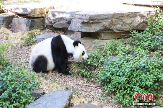 不舍旅澳大熊猫回国!澳大利亚将租期延长5年