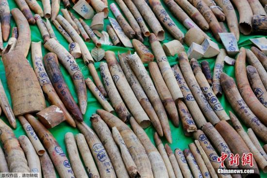 或存缺陷引发偷猎专家称日本应立即关闭象牙市场