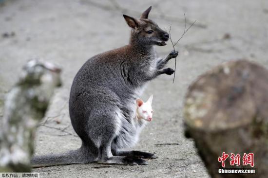 当地时间2019年3月13日,捷克德辛当地动物园新生一只罕见的白化小袋鼠,小袋鼠从妈妈的育儿袋里探出个脑袋萌化了。