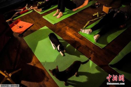 """资料图?#22909;?#22269;纽约布鲁克林一家猫咖啡馆举办猫咪主题瑜伽课,猫咪成学员特殊""""陪练""""。"""