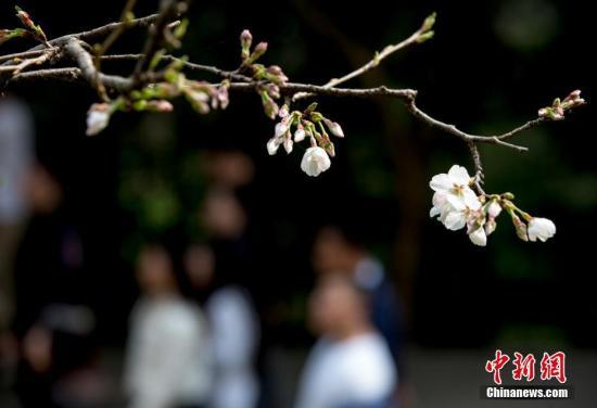 武汉大学樱花大道上的樱花初绽,吸引不少游人前来赏花。<a target='_blank' href='http://www.chinanews.com/'>中新社</a>记者 张畅 摄