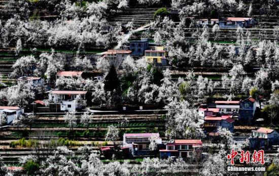 资料图:阿坝州金川县万亩梨花绽放。安源 摄