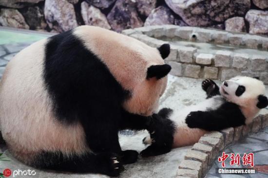"""旅日大熊猫""""良滨""""20岁啦!今秋或迎来第十胎图片"""