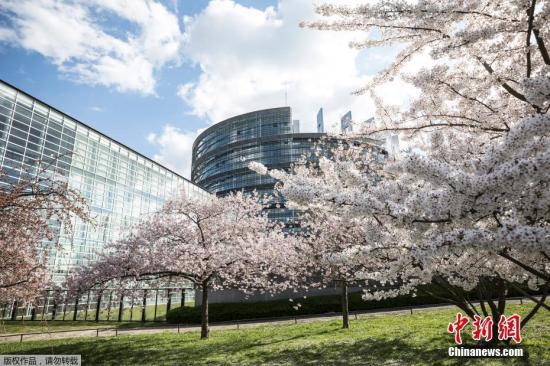 当地时间3月26日,法国斯特拉斯堡欧洲议会大厦外,樱花盛开。