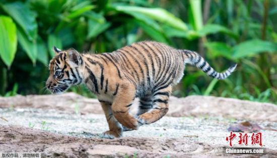 当地时间3月29日,澳大利亚塔龙添动物园,三只苏门答腊虎小崽与游客见面。