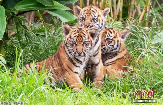 当地时间3月29日,澳大利亚塔龙加动物园,三只苏门答腊虎幼崽与游客见面。