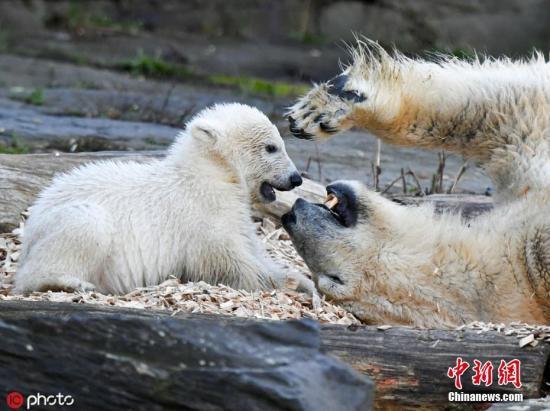 当地时间2019年4月1日,德国柏林,柏林动物园里,北极熊妈妈Tonja和它的幼崽享受温馨亲子时光。 这只北极熊幼崽在去年12月1日出生,目前还没有名字,动物园将在2日为它举行取名仪式。 图片来源:东方ic 版权作品 请勿转载