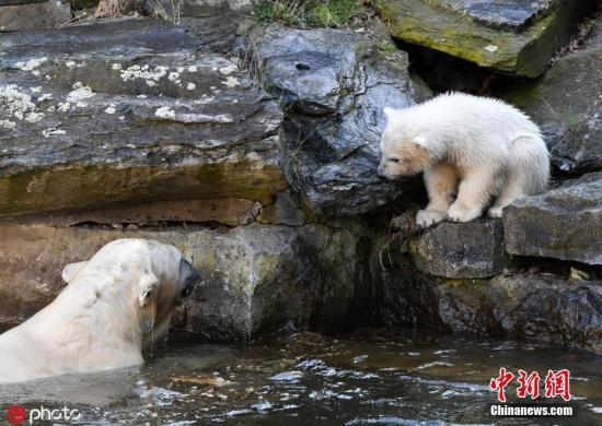 德国柏林,柏林动物园里,北极熊妈妈tonja和它的幼崽享受温馨亲子时光.