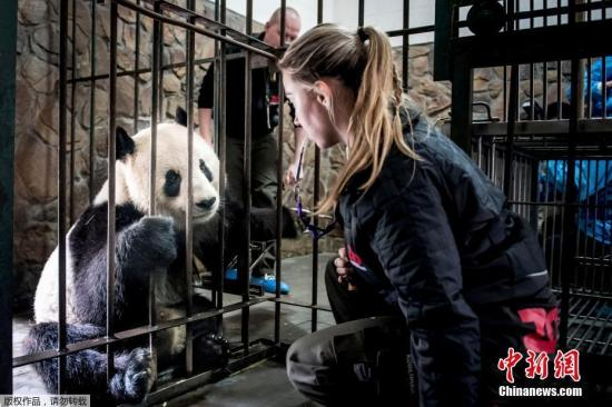 Pandas return home after leaving Canada amid bamboo shortage