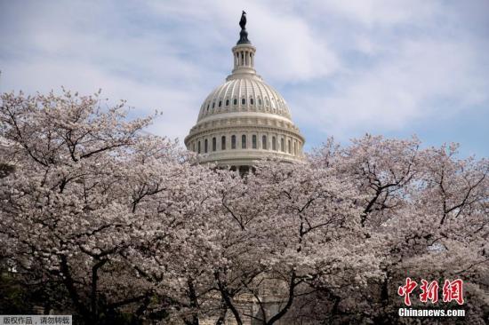 资料图:美国华盛顿潮汐湖畔樱花盛放,吸引游客驻足观赏。