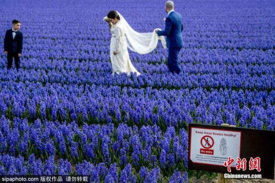 资料图:当地时间4月6日,荷兰一片风信子花田进入盛放期,游客不顾禁令在蓝色花田中拍照。图片来源:Sipaphoto版权作品 禁止转载