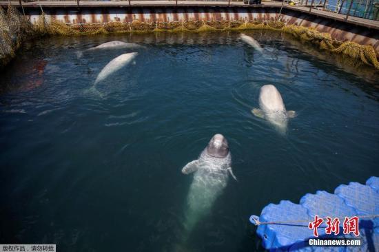 材料图:本地工夫2019年4月7日,俄罗斯近东内地纳霍德卡(Nakhodka)港四周,远百头鲸鱼被闭正在空间狭窄的养殖设备中。据报导,国际迷信战环保人士于当日拜访该养殖基天停止查询拜访,同时颁布发表那批鲸鱼将正在夏日被开释。