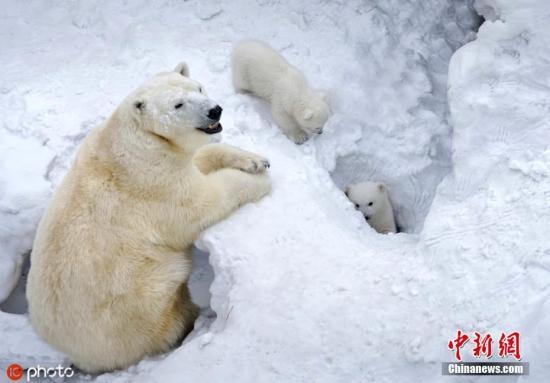 当地时间2019年3月,俄罗斯新西伯利亚动物园,两只可爱的新生北极熊宝宝首次户外活动,和妈妈一起在雪地里嘻嘻玩耍,可爱爆了。43岁的摄影师Aleksey Rodak日前造访该动物园时拍下了这组照片。 图片来源:东方IC 版权作品 请勿转载