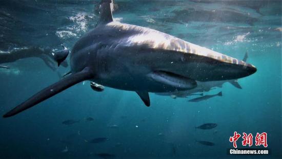 资料图:鲨鱼。 图片来源:东方ic