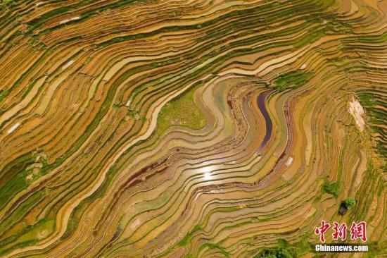 """4月19日,航拍貴州省從江縣加榜梯田美景,宛如大地指紋。時下,貴州省黔東南苗族侗族自治州從江縣加榜百里梯田溢滿水,形態各異的梯田,從空中鳥瞰,宛如大地指紋一般。加榜梯田是聯合國糧農組織""""稻魚鴨""""共生系統全球重要農業文化遺產保護地,是國家濕地公園試點。<a target='_blank' href='http://www.chinanews.com/' _fcksavedurl='http://www.chinanews.com/'>中新社</a>記者 賀俊怡 攝"""