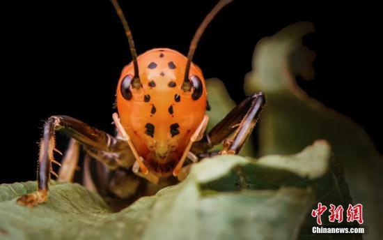 资料图:杂蜡蟋螽。吕泽逸