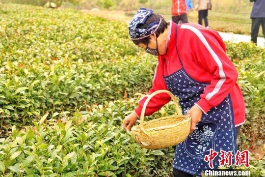 茶农在采摘茶叶。 胡耀杰 摄