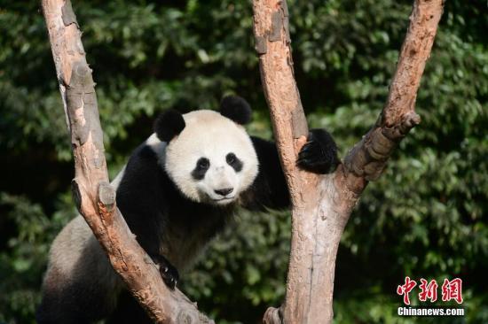 """大熊猫""""如意 """"。李传有 摄"""