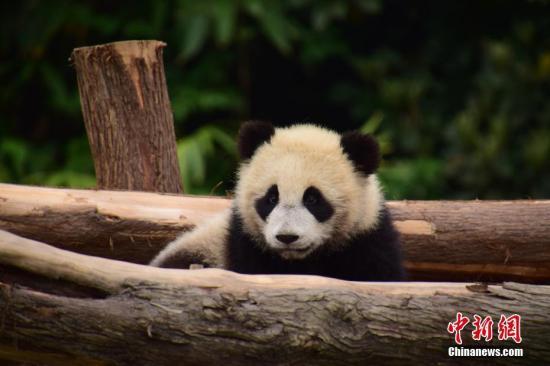 """近日,大熊猫""""如意""""""""丁丁""""将结束隔离疫,从中国大熊猫保护研究中心雅安碧峰峡基地出发乘专机前往俄罗斯莫斯科动物园,开启中俄大熊猫保护研究合作项目。大熊猫""""如意""""""""丁丁""""预计于本月29日中午从出发,北¶时间22:00点到达莫斯科机场。图䱳大熊猫""""丁丁""""。李传有 摄"""