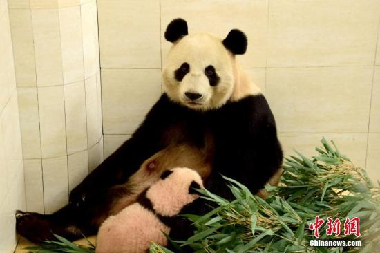 China's giant pandas arrive in Moscow