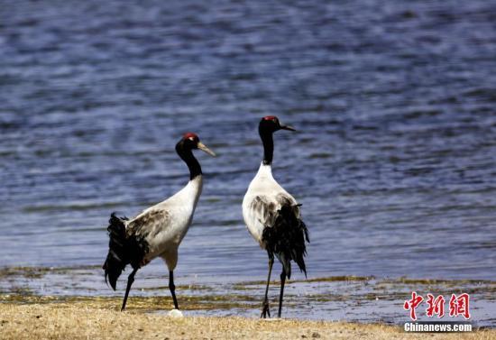 资料图:青海湖的黑颈鹤。 记者罗云鹏 侯元生 摄