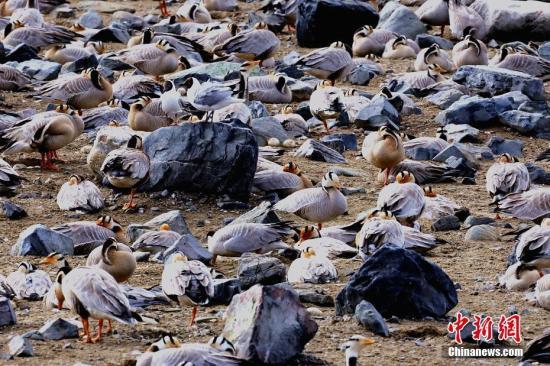 图为蛋岛斑头雁已开始营巢。 侯元生 摄