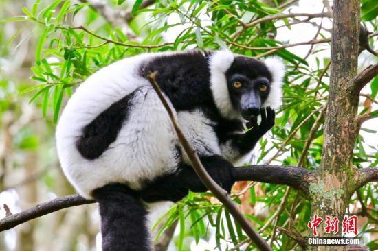 """马达加斯加狐猴濒临灭绝_气候变迁恐敲下""""丧钟"""""""