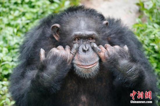 猩猩每天抽20支煙全球 結果歸咎于誰?