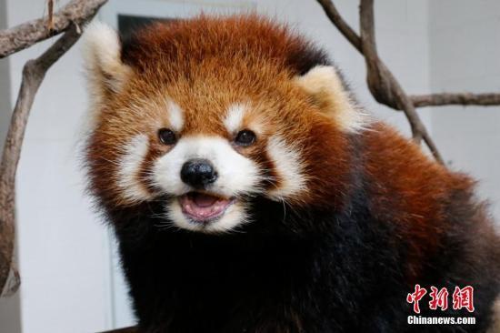 重庆私立猫咖养小熊猫 官方通报:涉嫌违规展示