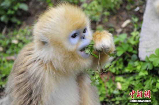 资料图:神农架金丝猴。中新社发 刘康 摄