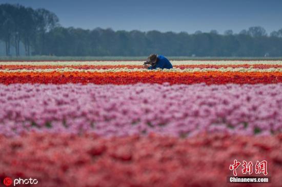 材料图:每一年的四到蒲月是著名天下的荷チ金喷鼻最好的期间。图片滥觞:ICphoto