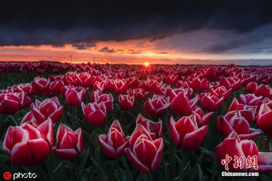 材料图:荷兰的郁金喷鼻花田。图片滥觞:ICphoto