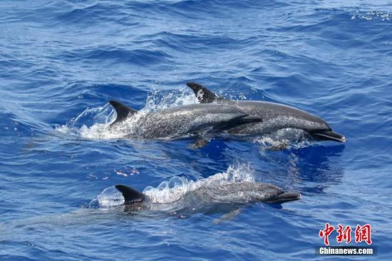 材料图:海豚。a target='_blank' href='http://www.chinanews.com/'种孤社/a收 林明利 摄