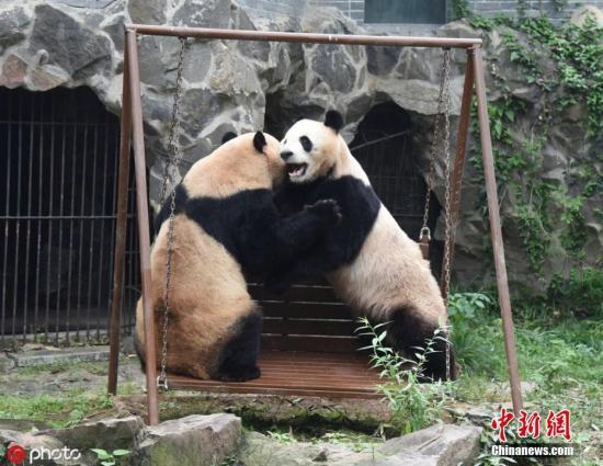 资料图:大熊猫。连国庆 摄 图片来源:ICphoto