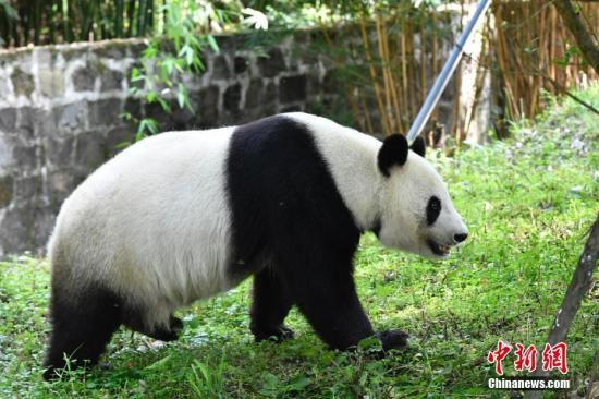 """大熊猫""""白云""""在熟悉新家环境。安源 摄"""