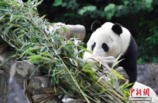 """大熊猫""""小礼物""""在熟悉新家环境。安源 摄"""