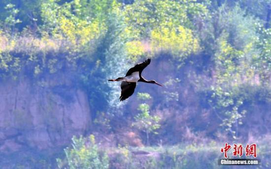 """初夏时节,有着""""鸟中大熊猫""""之称的黑鹳现身山西长子精卫湖国家湿地公园。黑鹳是一种体态优美、体色鲜明、活动敏捷、性情机警的大型涉禽,属国家一级保护动物,也是世界濒危珍禽,已被《濒危野生动植物种国际贸易公约》列为濒危物种。图为黑鹳在空中飞行。 刘峰 摄"""