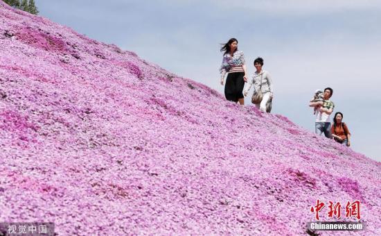 资料图:当地时间2019年5月19日,日本北海道Ozora,芝樱公园的芝樱盛放,游客徜徉在粉紫色花海中。图片来源:视觉中国