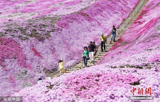 当地时间2019年5月19日,日本北海道Ozora,芝樱公园的芝樱盛放,游客徜徉在粉紫色花海中。图片来源:视觉中国